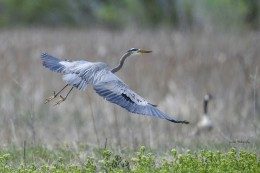 Blue-Heron-Fly-4272014-1024x682