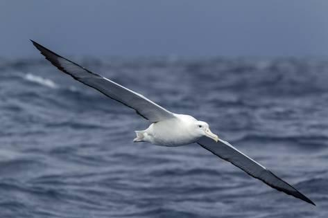 brent-stephenson-southern-royal-albatross-diomedea-epomophora-flying-low-over-the-sea_a-G-14557870-14258384